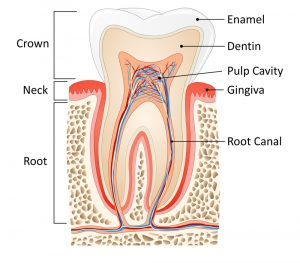 Tooth anatomy : root, neck and crown of a tooth