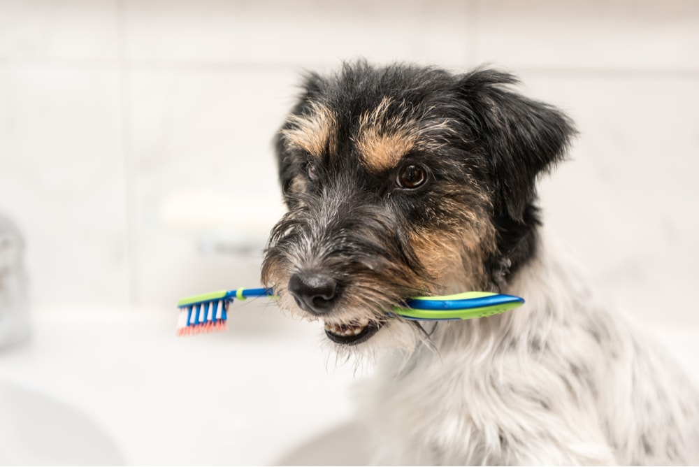 Toothbrush in a little dog's mouth