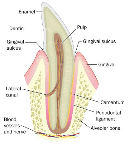 Periodontal Tissues