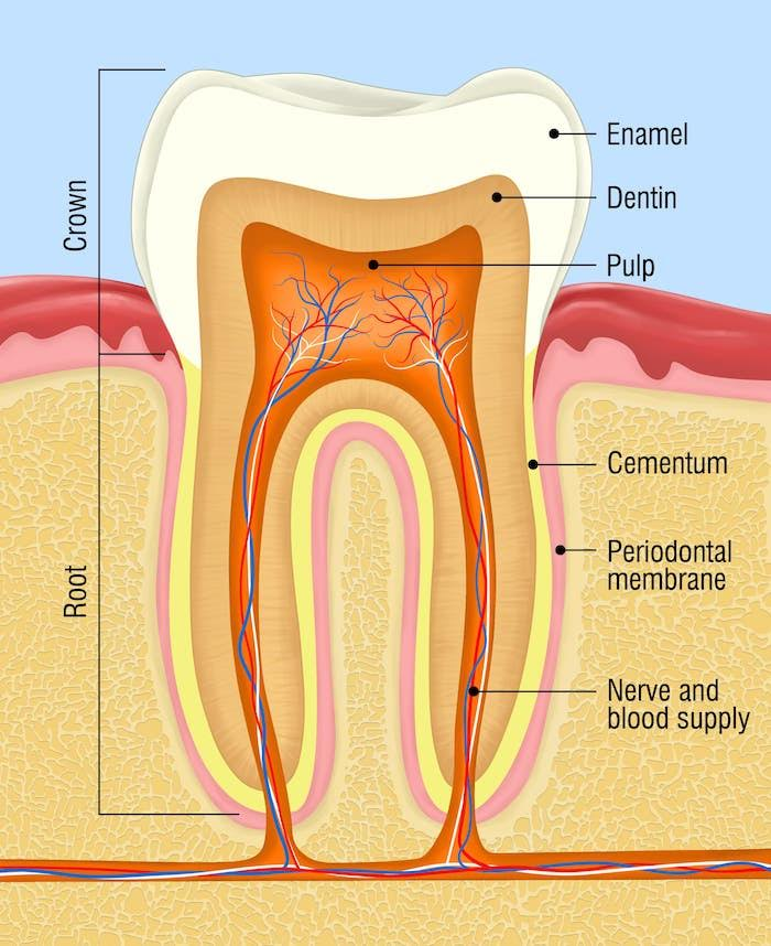 Image showing a tooth's crown, root, enamel, dentin, pulp, cementum, periodontal membrane, nerve and blood supply.