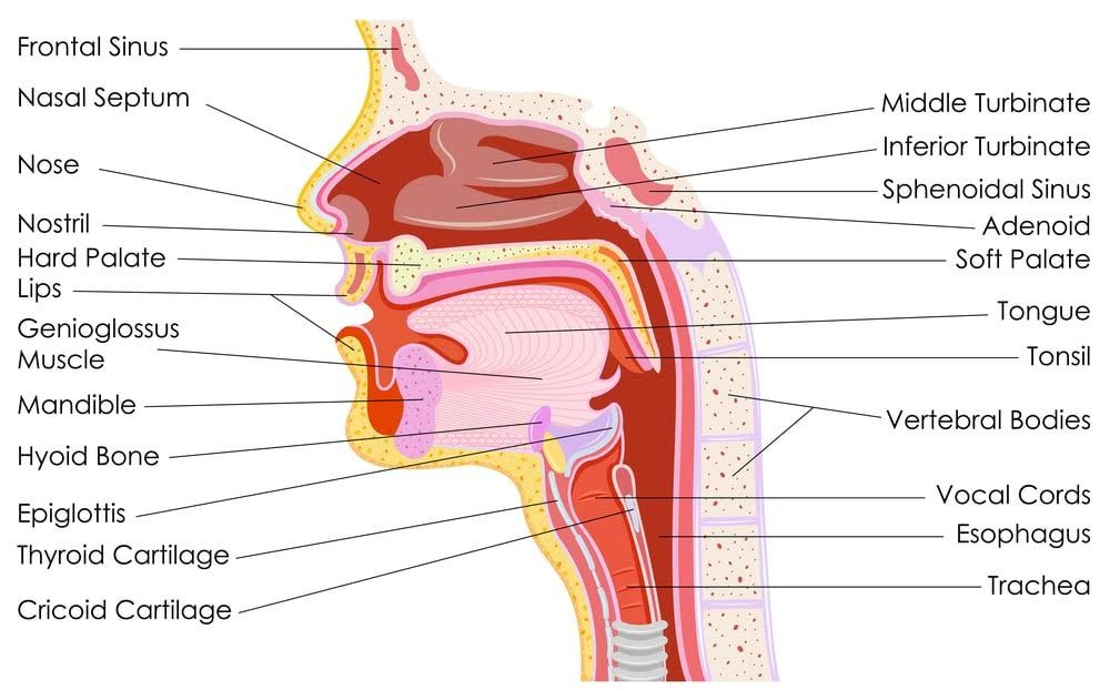 Detailed human throat anatomy: soft and hard palates, tonsils, hyoid bone, trachea, turbinates, adenoids, trachea, vocal cords …
