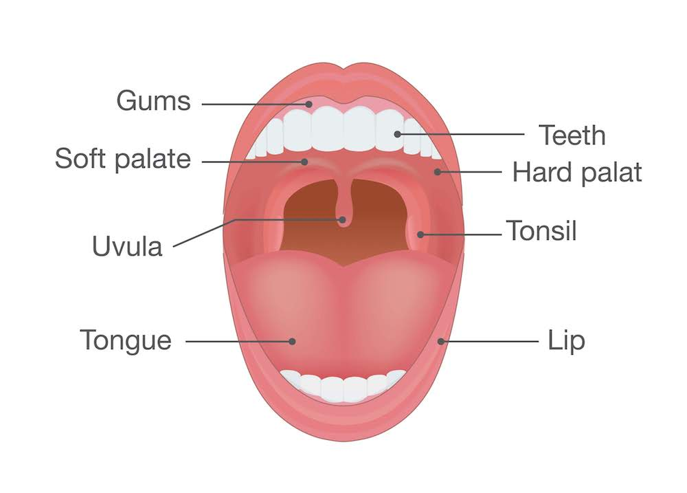 Human mouth: image showing the uvula, soft and hard palates, tonsils, teeth, gums, lips, and tongue