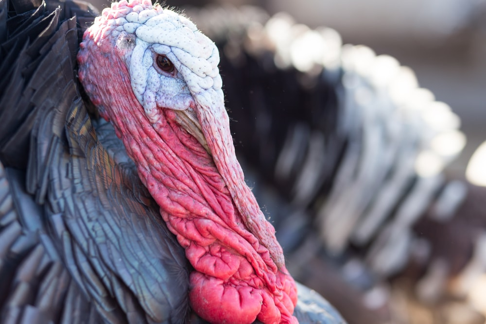 close-up portrait of a turkey with large flaps of red skin hanging off its chin