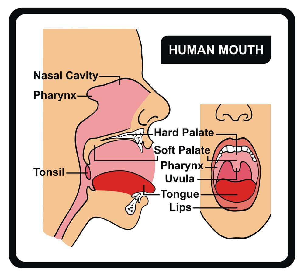 Anatomy of the human mouth showing the hard/soft palate, pharynx, uvula, tongue, lips, tonsils, nasal cavity.