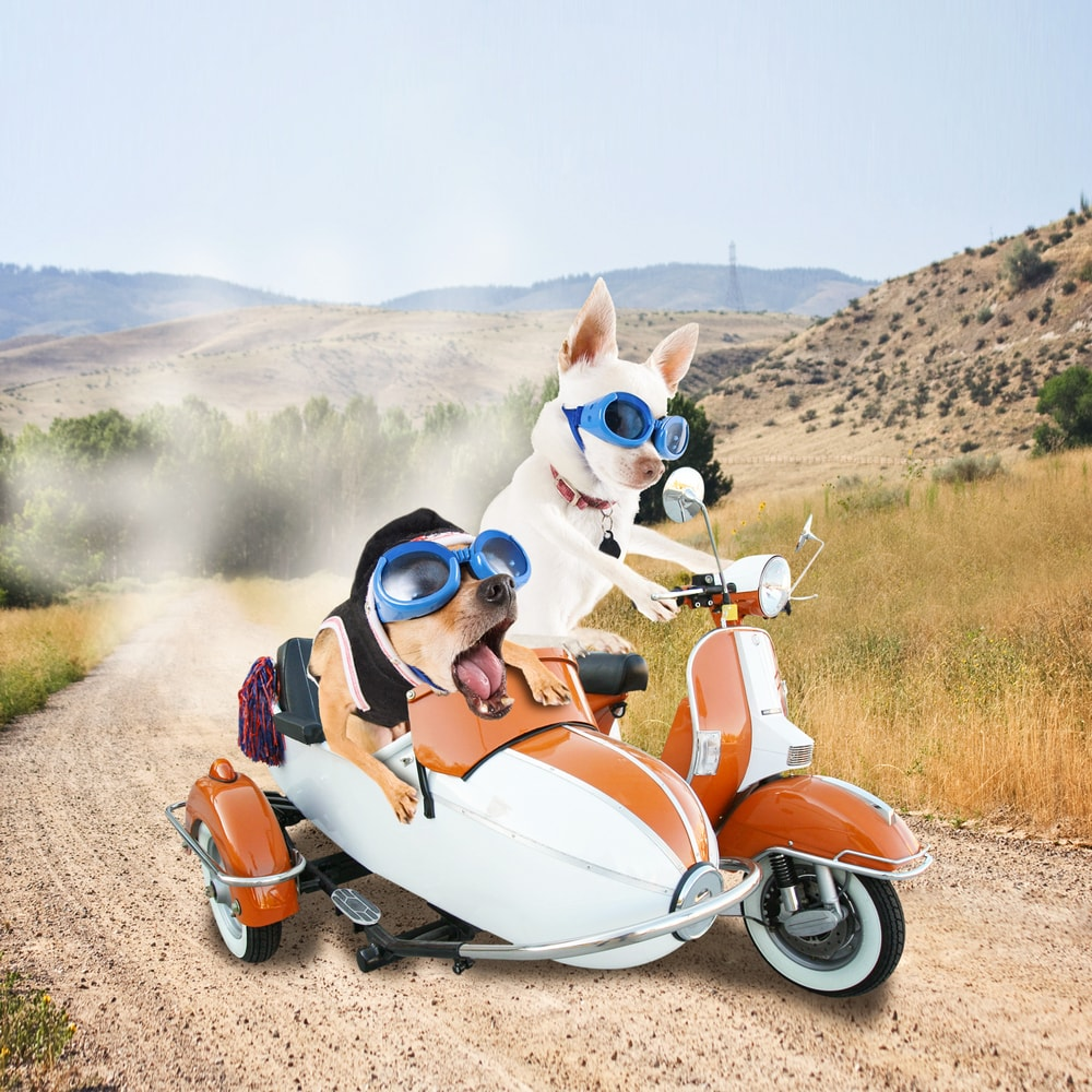 Funny image of 2 chihuahuas driving a scooter. The co-pilot seems very drowsy but the pilot remains focused on the road.