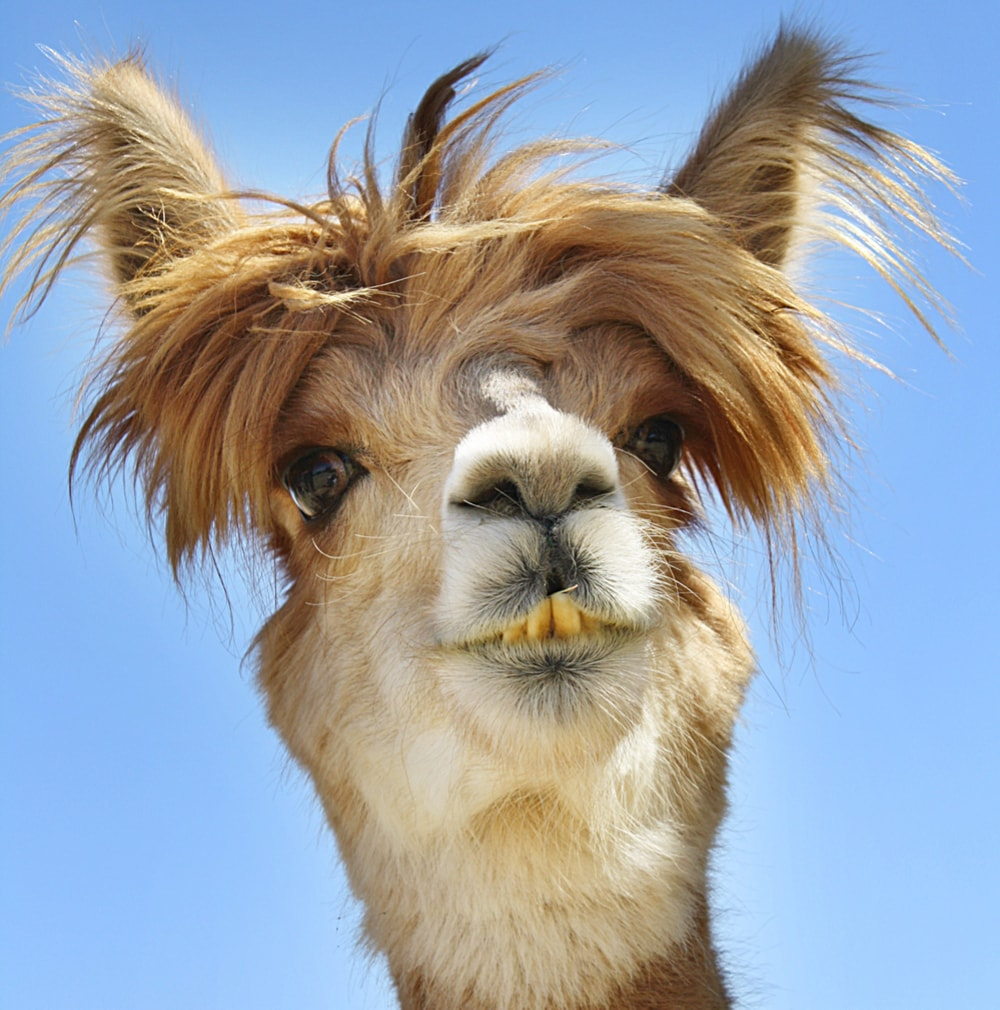Funny image of an alpaca with a bizarre hair.
