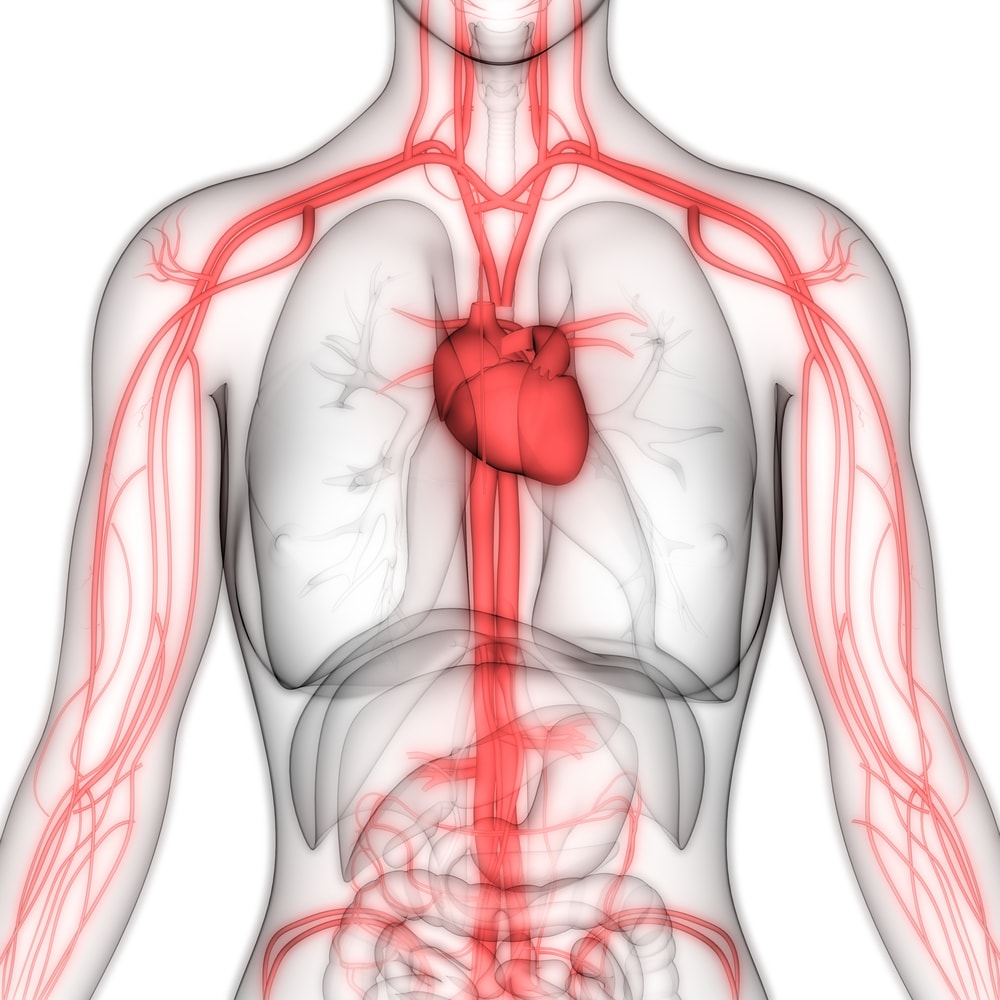 Human circulatory system anatomy showing heart and blood vessels