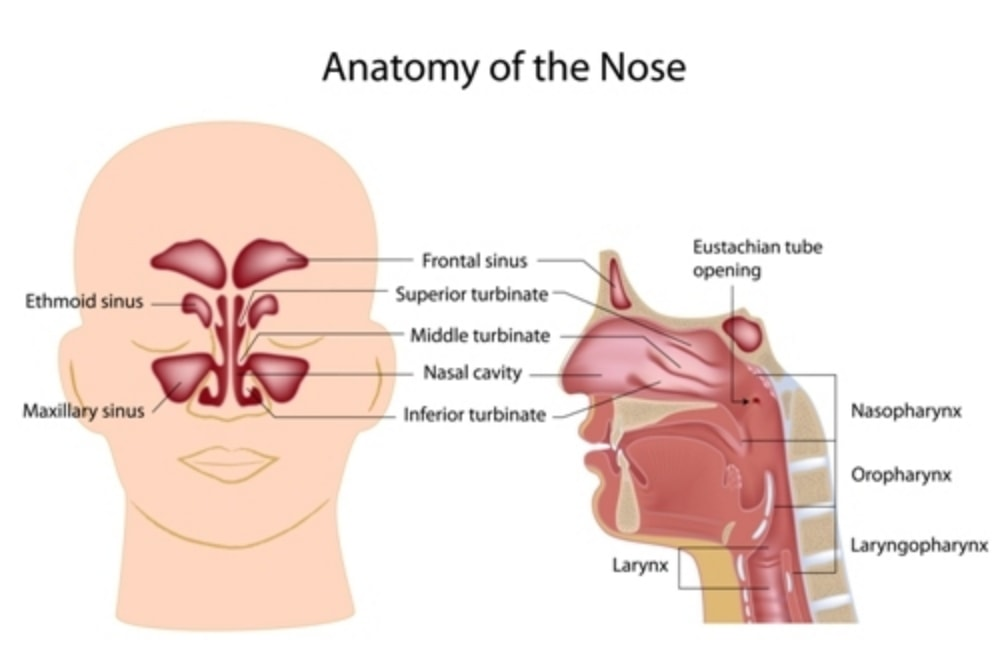 Anatomy of the nose and upper respiratory system, with nasopharynx, oropharynx and laryngopharynx.