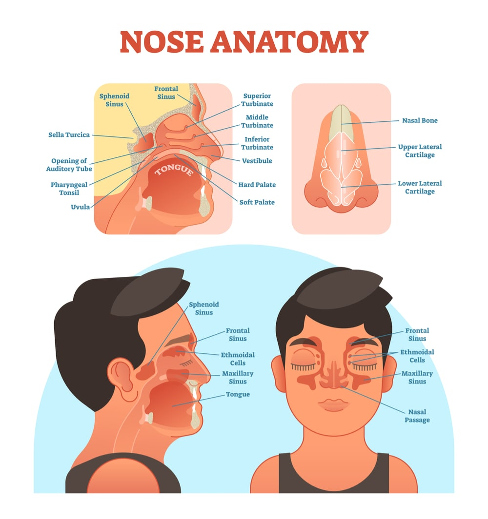 Image showing nasal cavity, mouth, sinuses and nose cartilage